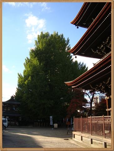 銀杏 国分寺.jpg