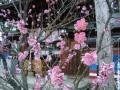 飛騨天満宮の梅 002.JPG