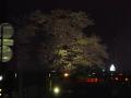 中橋の櫻 032.JPG