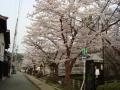 護国神社の櫻 001.JPG