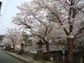 護国神社の櫻 002.JPG