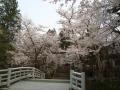 護国神社の櫻 003.JPG