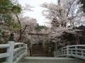 護国神社の櫻 005.JPG