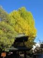 国分寺の大銀杏 018.JPG